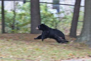 black-bear-running